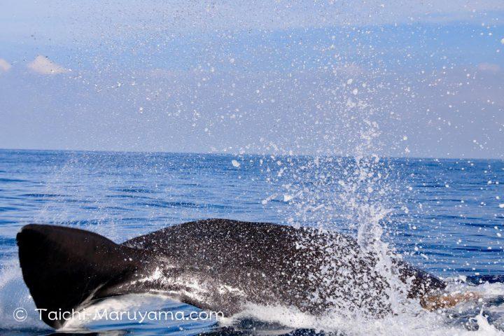 マッコウクジラの画像 p1_20